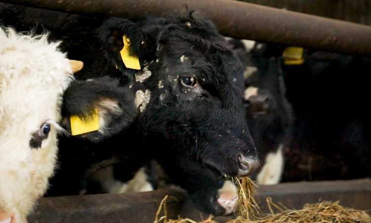 Лишай у коров: признаки и методы лечения