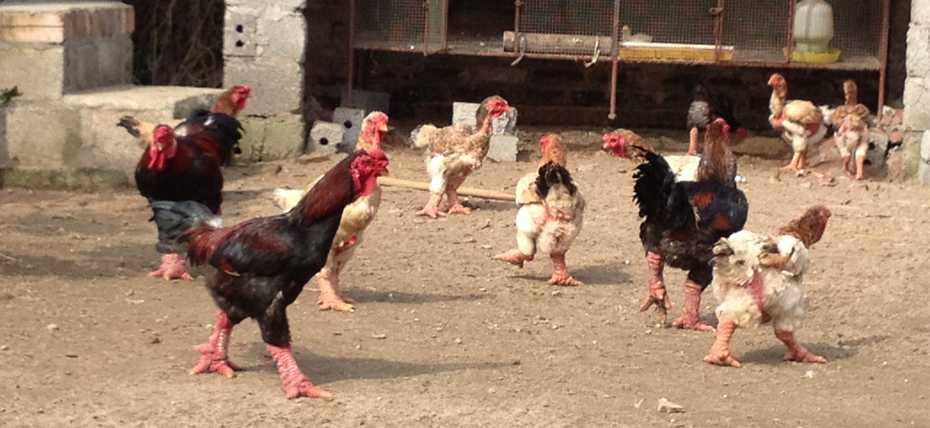 Редкие породы кур: названия, описание пород
