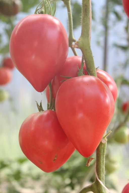 Томат Японка: характеристика, описание, особенности выращивания