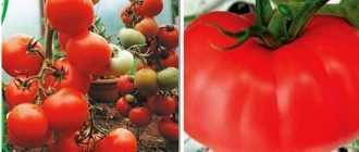 Томат Киржач: фото с описанием, урожайность и отзывы