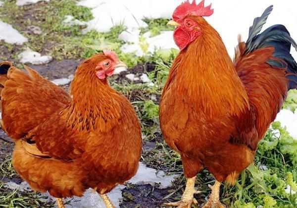 Кубанская красная порода кур: отзывы, описание, характеристики, особенности содержания, кормление и уход