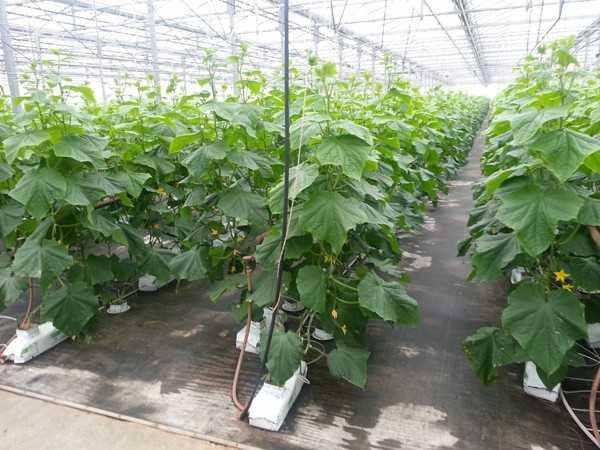 Какой сорт огурцов самый урожайный для теплицы: обзор, характеристики, особенности выращивания